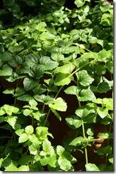 sarriette du jardin de fabrice