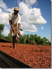 sechage feve cacao
